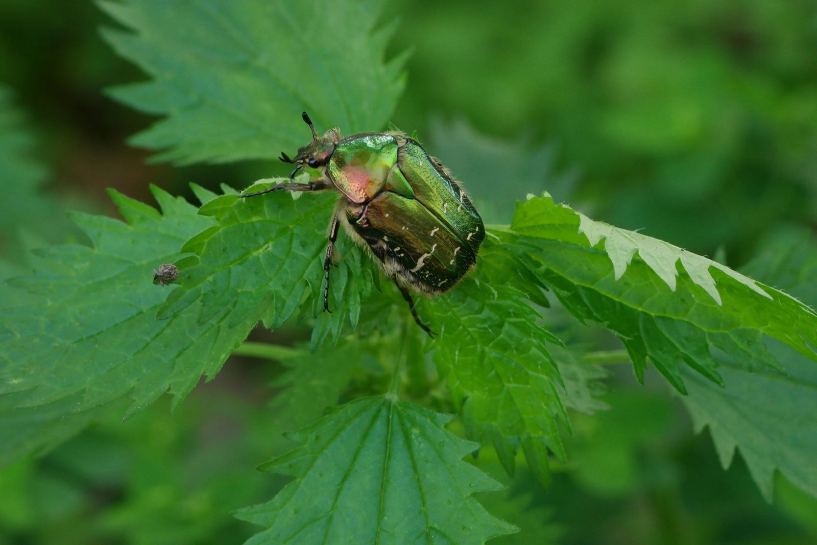 escarabajo de las rosas