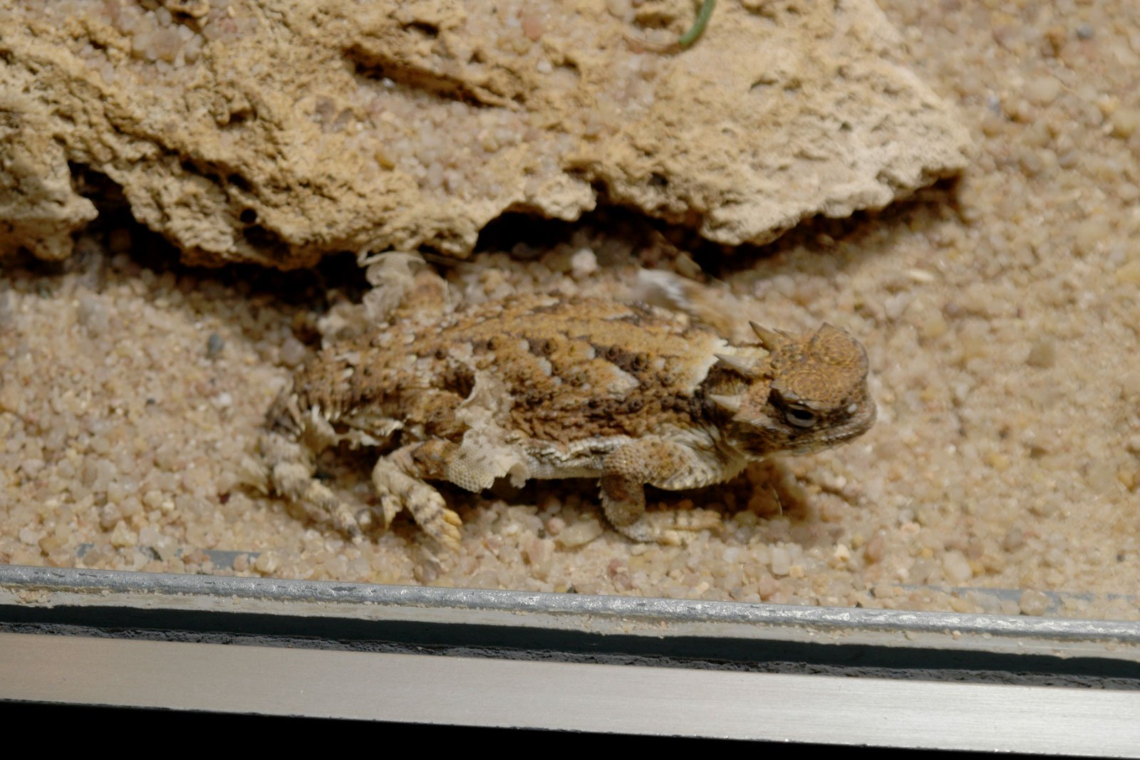 lagarto cornudo del desierto