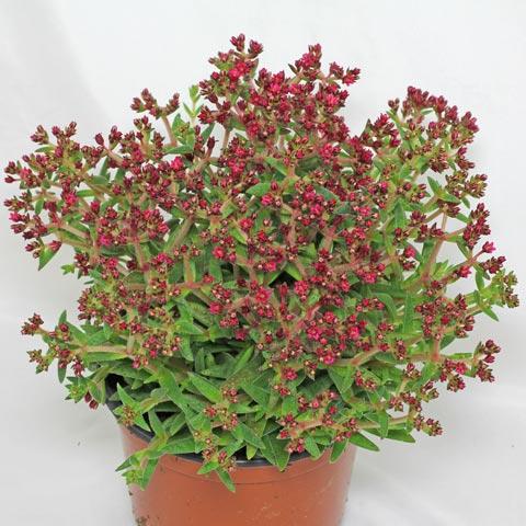 Crassula exilis ssp. schmidtii