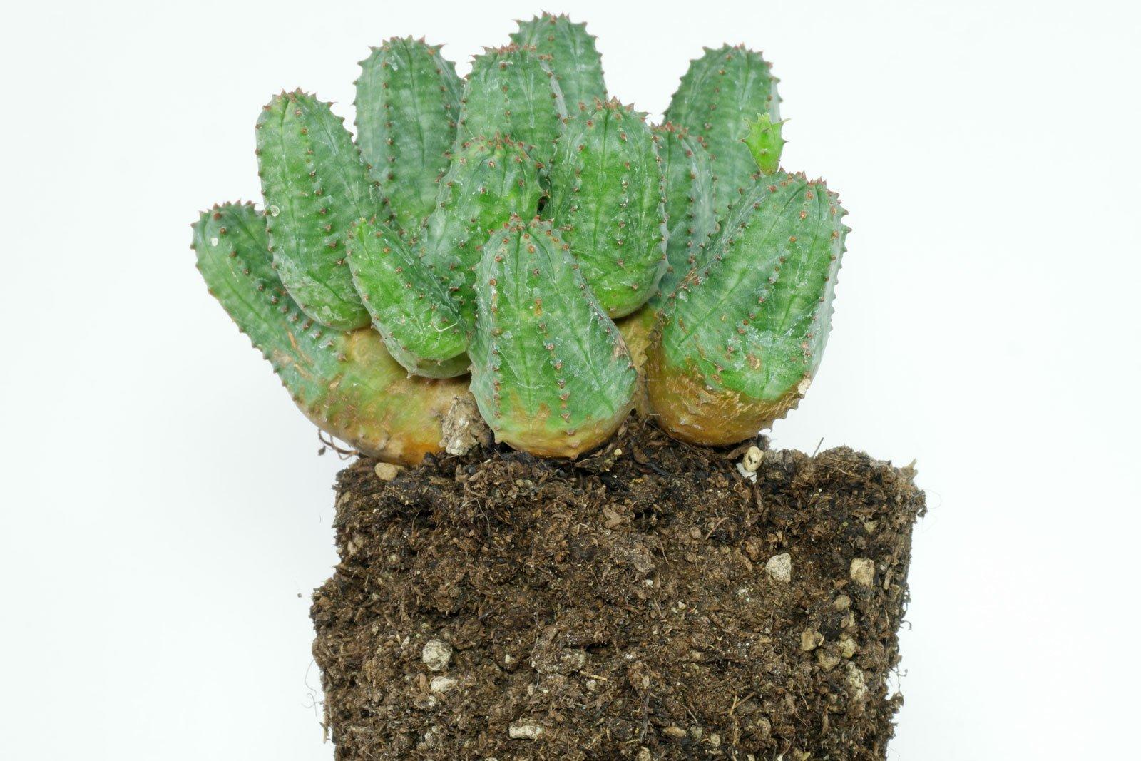 Euphorbia globosa × obesa