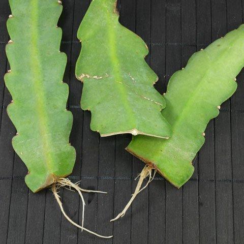 Epiphyllum cv