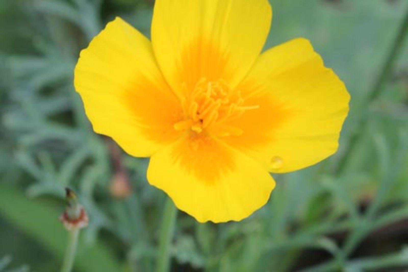eschscholzia californica