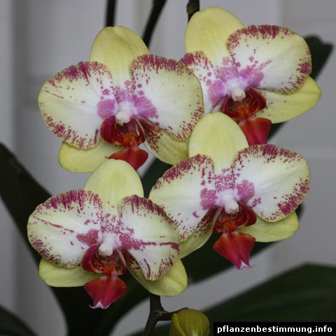phalaenopsis brother love