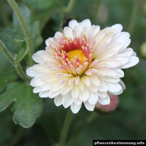 chrysanthemum x indicum julia