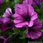 petunien rosa