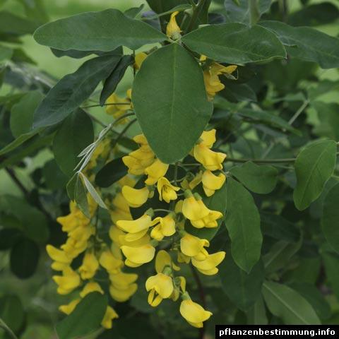 Laburnum × watereri