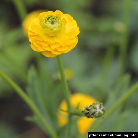 Ranunculus acris Multiplex
