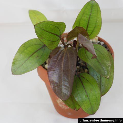 Echinodorus Regine Hildebrandt