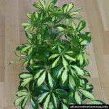 Schefflera arboricola Gerda