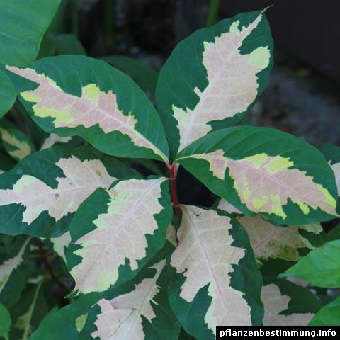 Graptophyllum pictum