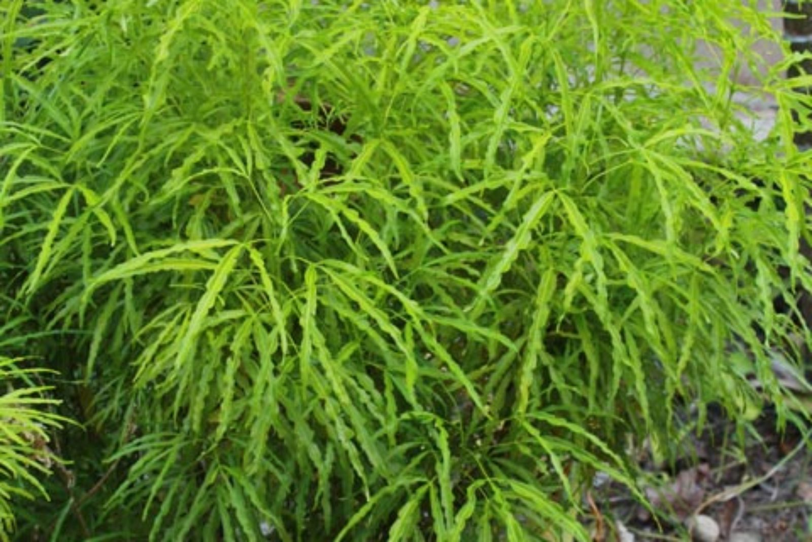 Melicope denhamii