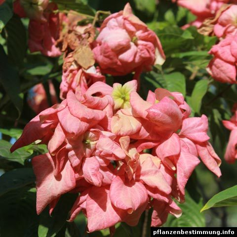 Mussaenda red