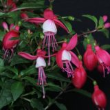 Fuchsia-Hybride