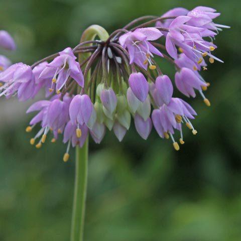 Allium cernuum