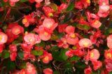 Begonia × semperflorens cv.