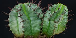 Euphorbia familia