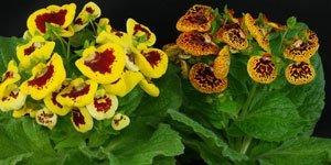 Flores por colores