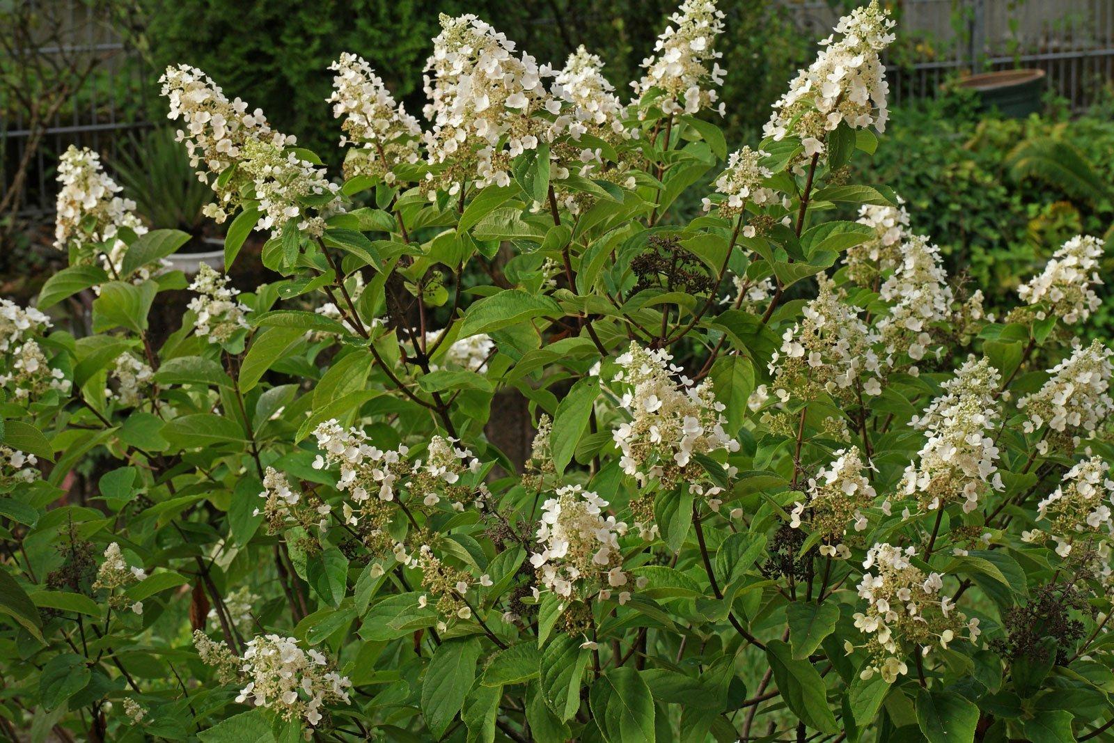 Hortensia paniculata