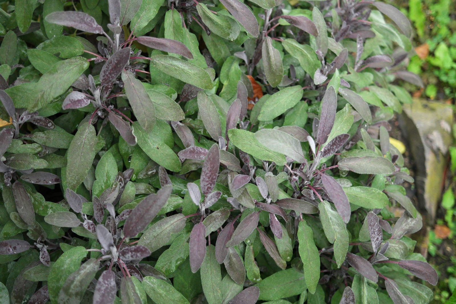 Salvia púrpura