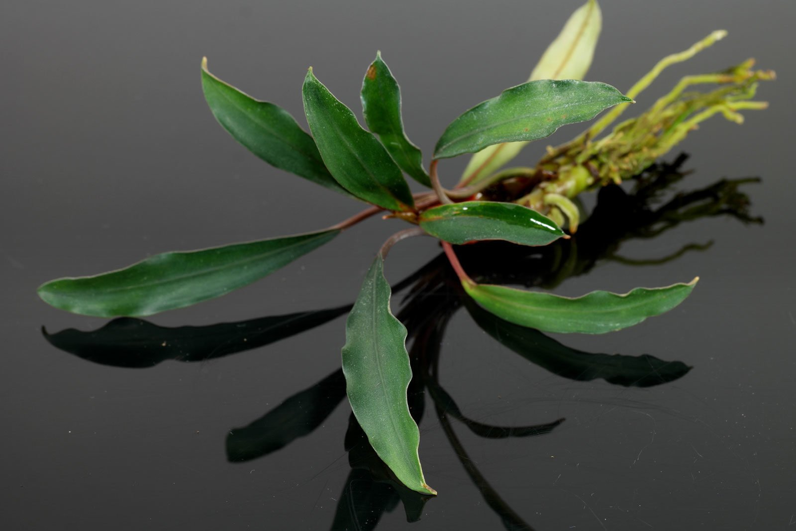 "Bucephalandra ""Kapuas Hulu"""