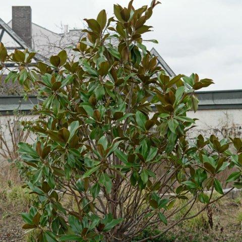 Magnolia común