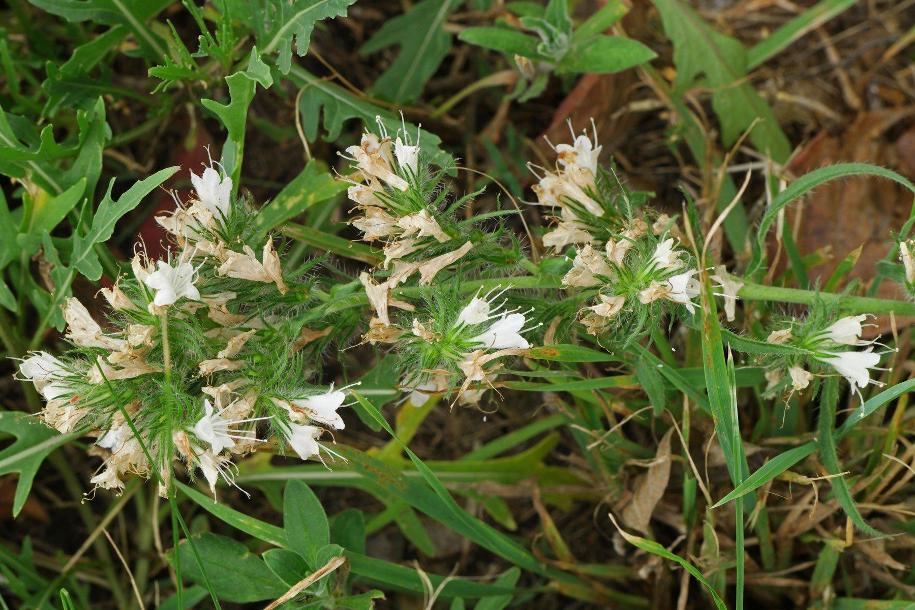 Echium vulgare 3