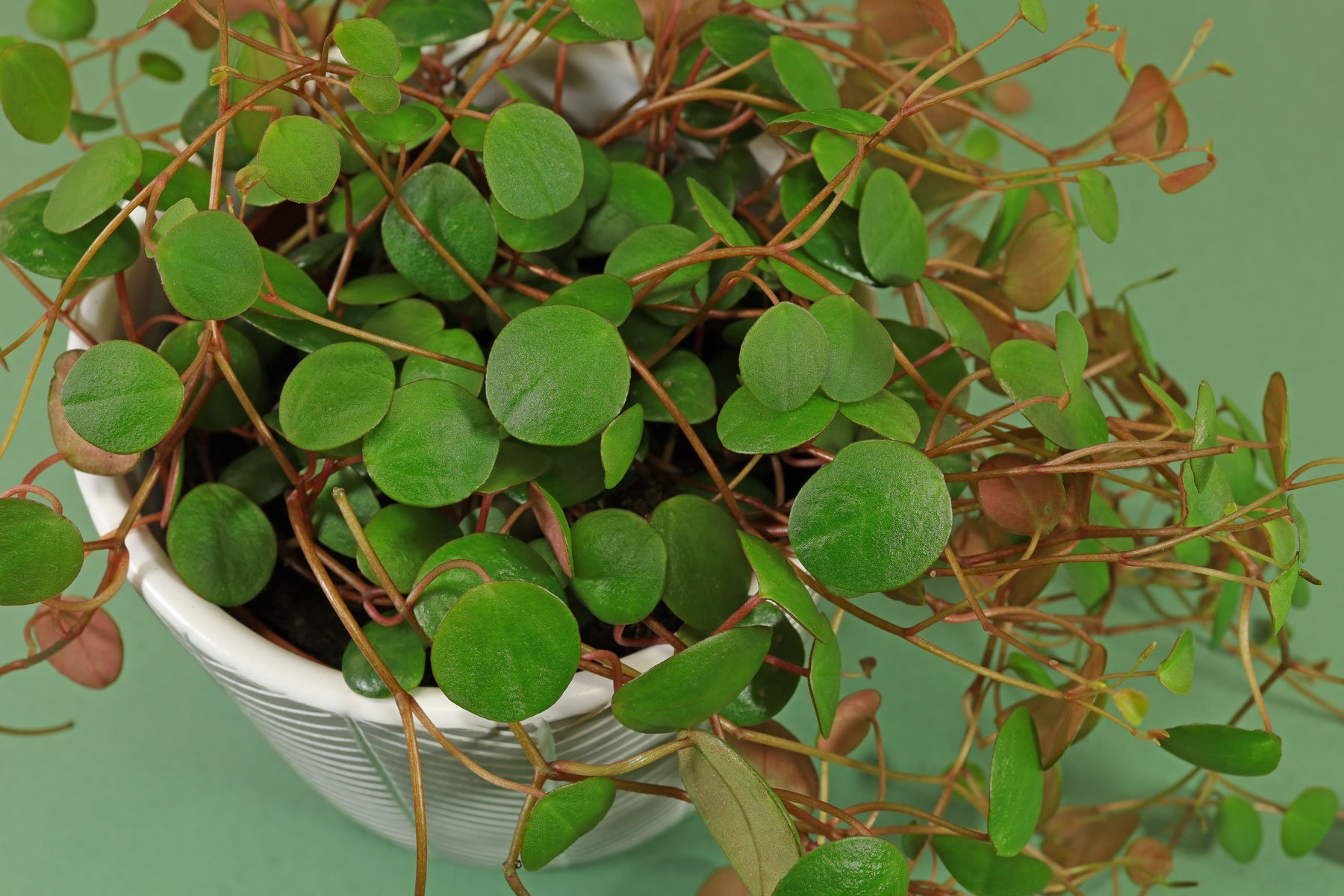 Peperomia prostrata Pepperspot