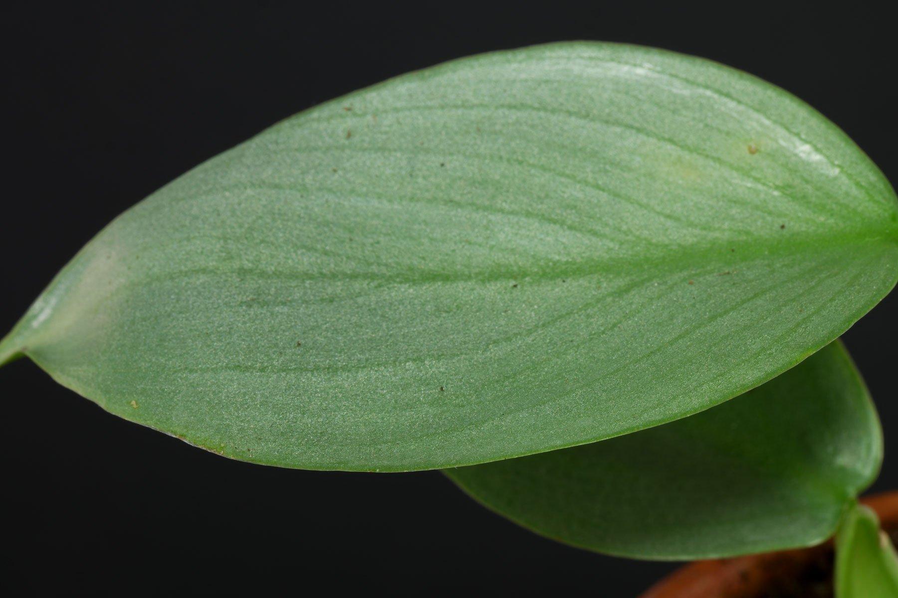 Philodendron hastatum 4