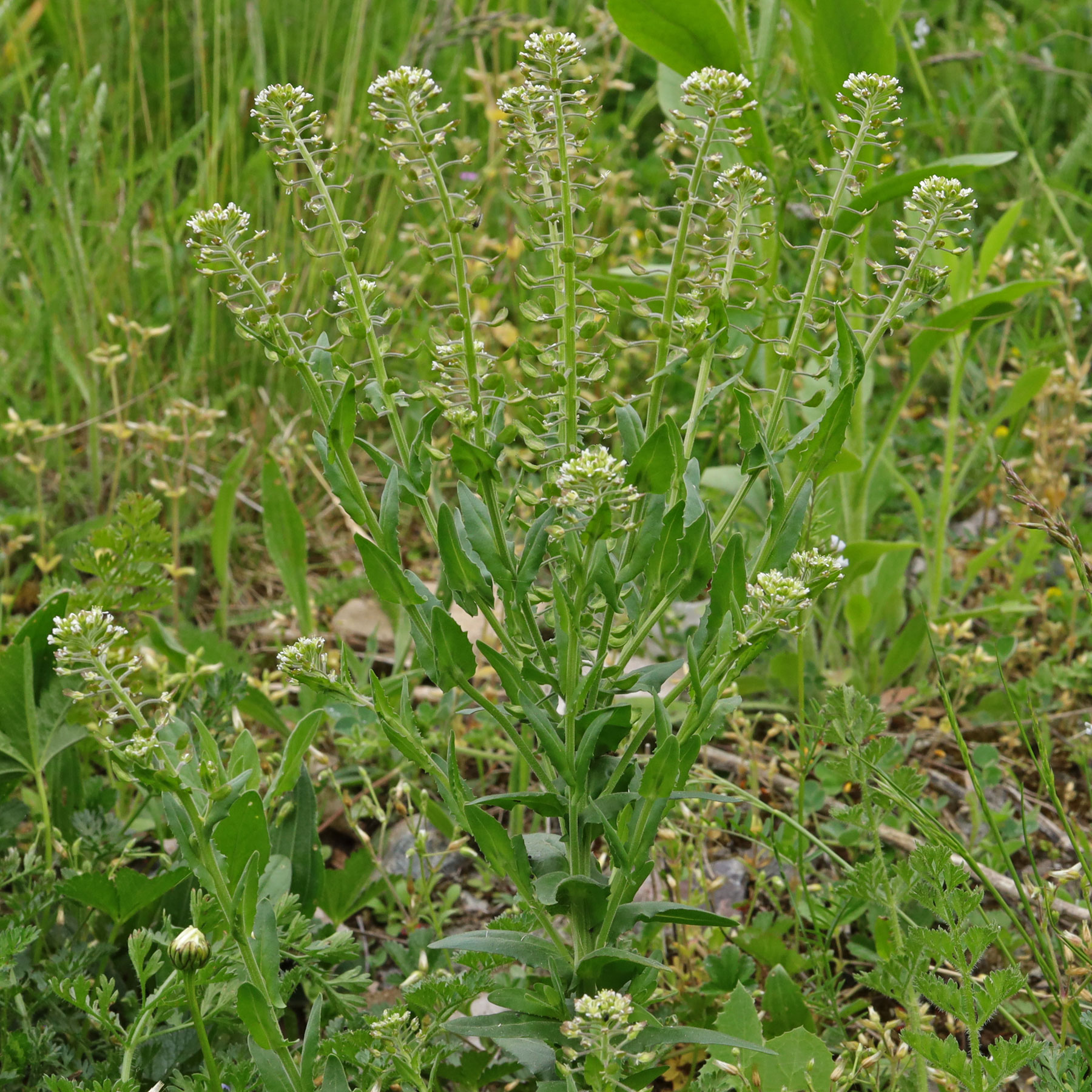 Lepidium campestre